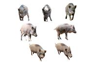 切り抜き用 7頭の日本イノシシの子供 年賀、干支、新年イメージ