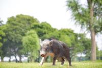 緑地を歩く日本猪の子供。年賀、2019年、干支、イノシシ、年賀状イメージ