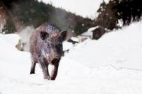 雪山の里を歩くイノシシ。2019年、猪、干支、新年、年賀、年賀状イメージ