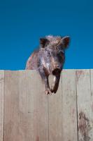 板塀に登り見つめる1頭のイノシシ。2019年、猪、干支、新年、年賀、年賀状イメージ