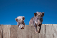板塀に登り見つめる2頭のイノシシ。2019年、猪、干支、新年、年賀、年賀状イメージ