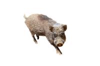切り抜き用 子供のイノシシの斜め俯瞰。2019年、猪、干支、新年、年賀、年賀状イメージ
