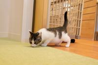 床を嗅ぎながら進む子猫