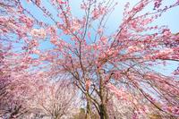 大島小松川公園 桜
