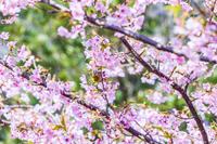 桜とメジロ