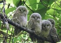 Ezo Owl
