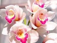 ジンビジウムの花
