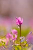 Katakuri in full bloom