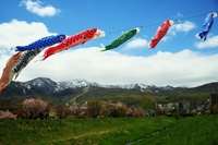 Carp streamer swimming energetically