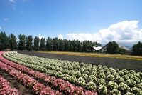 Beautiful flower garden of Biei