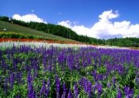 Beautiful flower garden of Biei