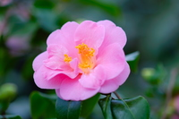 Beautiful camellia in full bloom