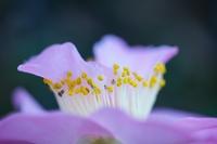 Beautiful camellia in full bloom
