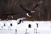 White-tailed eagle floating world natural heritage