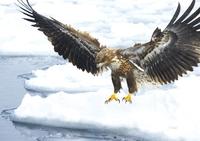 White-tailed eagle floating world natural heritage