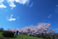 Cherry blossoms blooming in full bloom