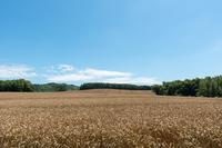 小麦畑の丘
