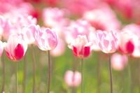 Tulip field in full bloom