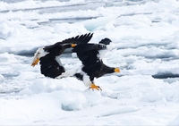 Steller's sea-east with a world natural heritage