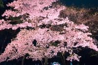 ライトアップの桜 夜景