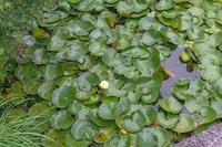 雨上がりの水辺の睡蓮