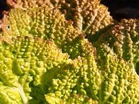 白菜の葉のテクスチャ-