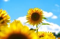 Sunflower field of Hokuryu-cho
