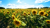 Sunflower field of Hokuryu-cho