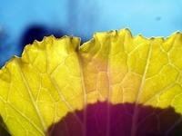 山東菜の葉のテクスチャ-