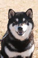 カメラ目線の柴犬