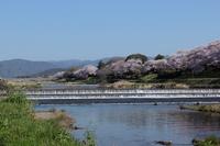 京都 春の賀茂川