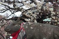 京都 北野天満宮 牛と白梅