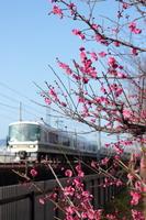 京都 梅の花と電車