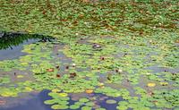 毛利氏庭園 蓮池の風景