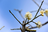 大阪梅林の梅の花