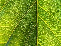 ビワの葉のテクスチャ-