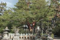 京都 北野天満宮 影向松