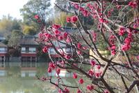 京都 八条ヶ池の紅梅