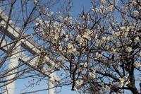 京都 長岡天満宮の白梅