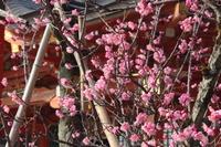 京都 長岡天満宮 拝殿の紅梅