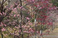 京都 長岡公園の梅林
