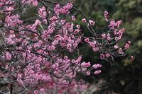 京都 長岡公園の梅
