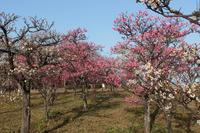 京都 梅小路公園の梅林