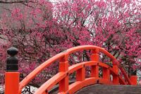 京都 下鴨神社 光琳の梅