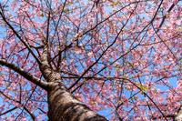 桜が見頃(満開)