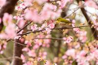 メジロと桜