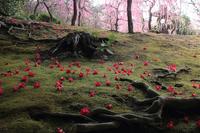 京都 城南宮 散り椿