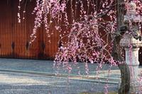 京都 城南宮 枝垂れ梅
