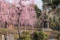 京都 城南宮 神苑のしだれ梅