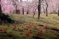 京都 城南宮 散り椿と枝垂れ梅